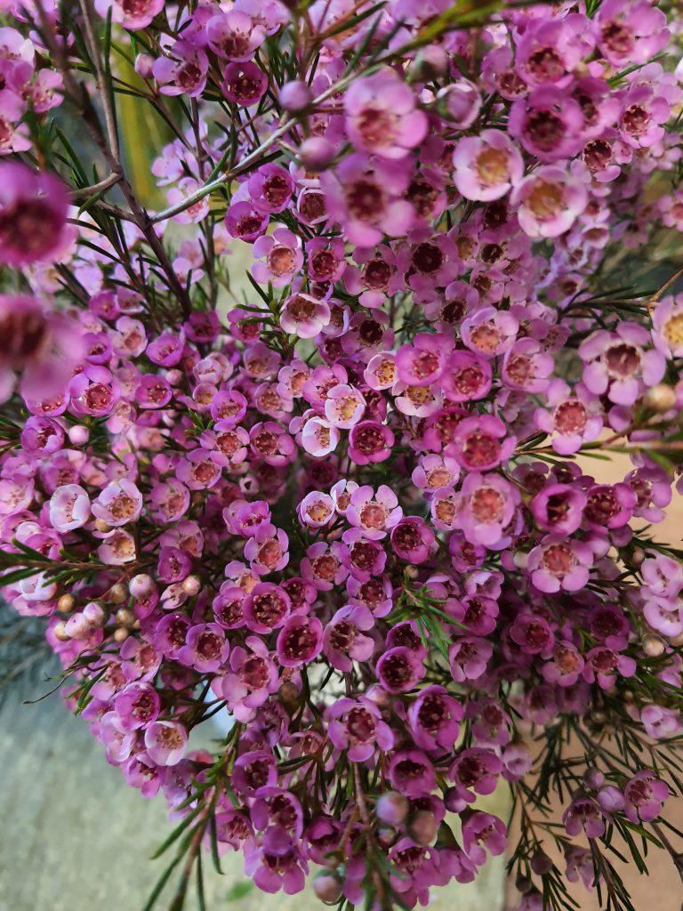 Wachsflower
